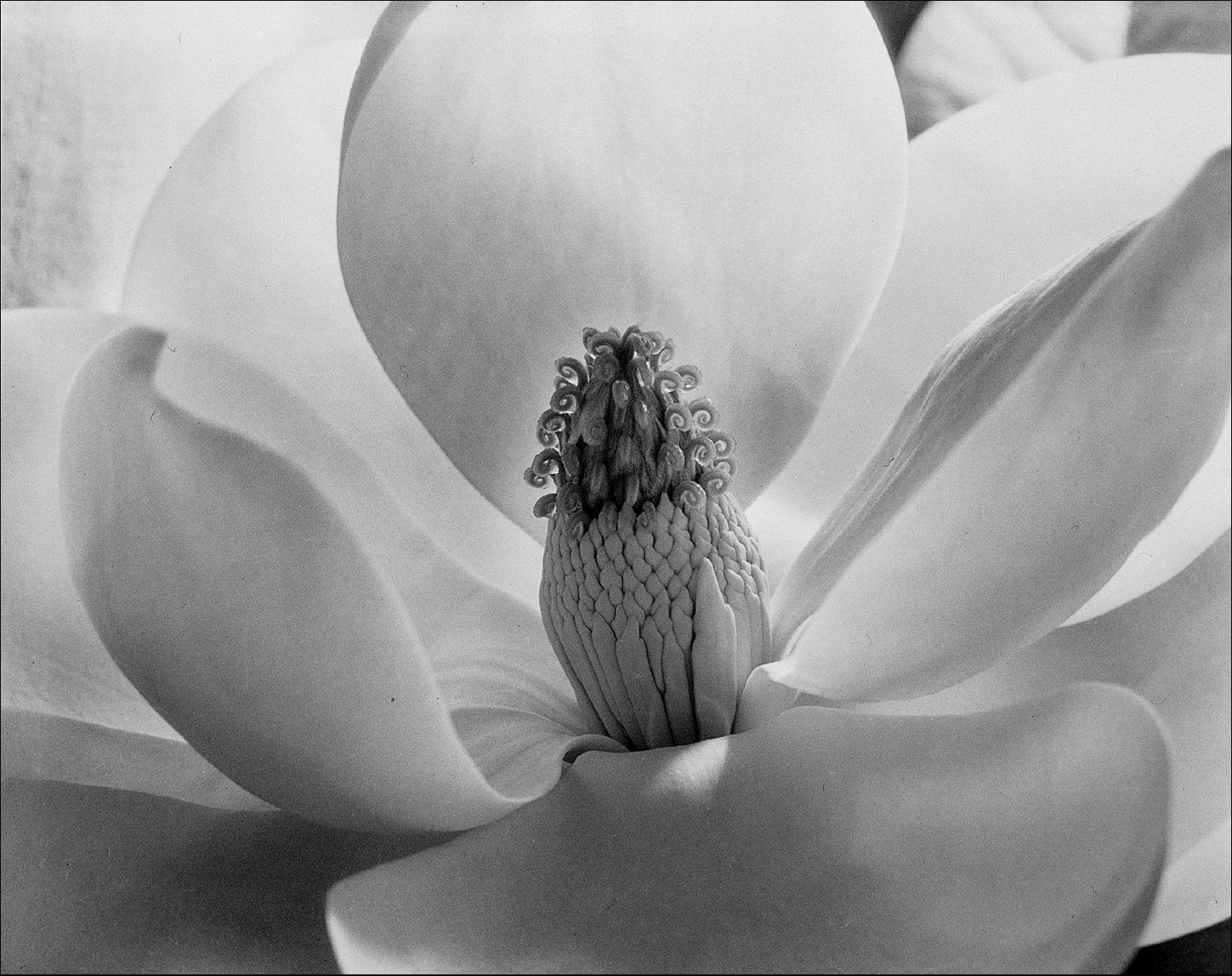 """Magnolia Blossom,"" by Imogen Cunningham, 1925"