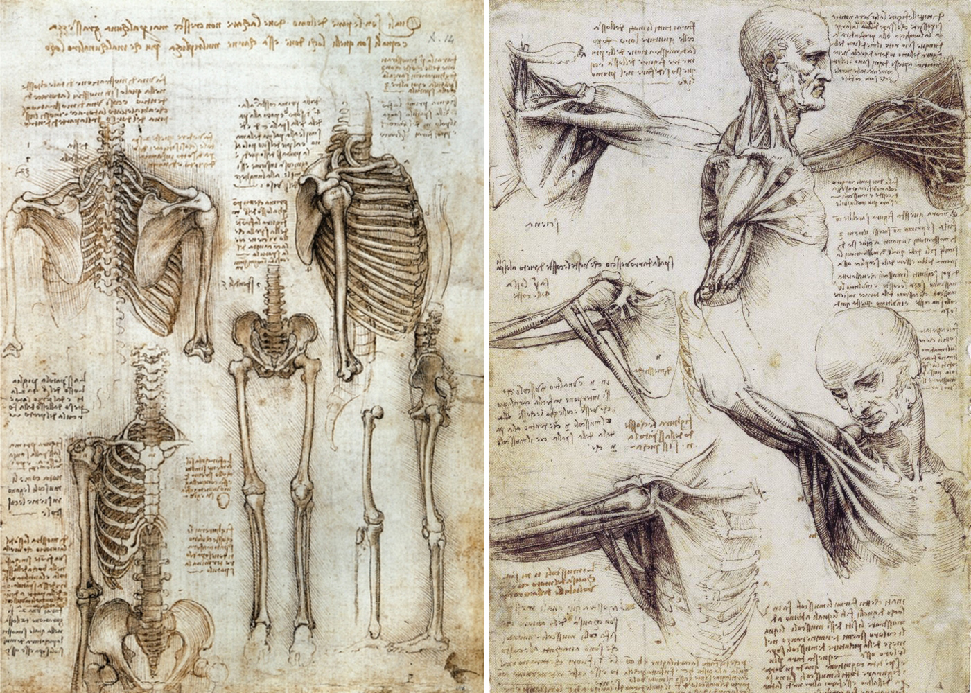 Anatomical drawing from Leonardo da Vinci (n/d)