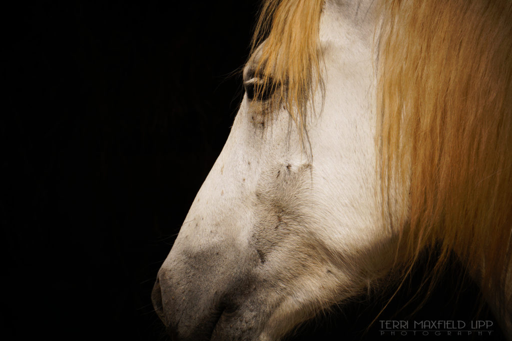 Wild Camargue horse, Provence, France